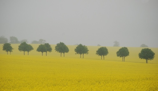 Early summer rapefield in Skåne